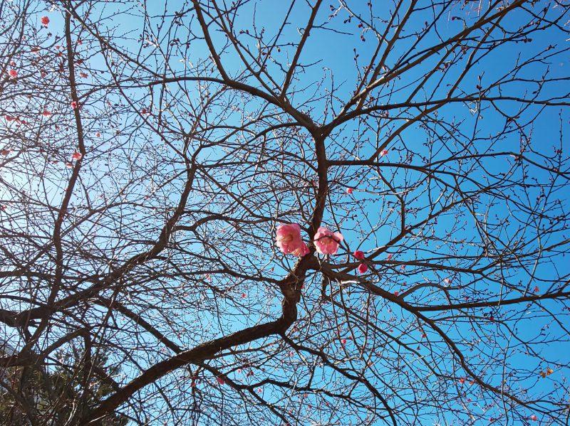 2月、梅の花が・・・。