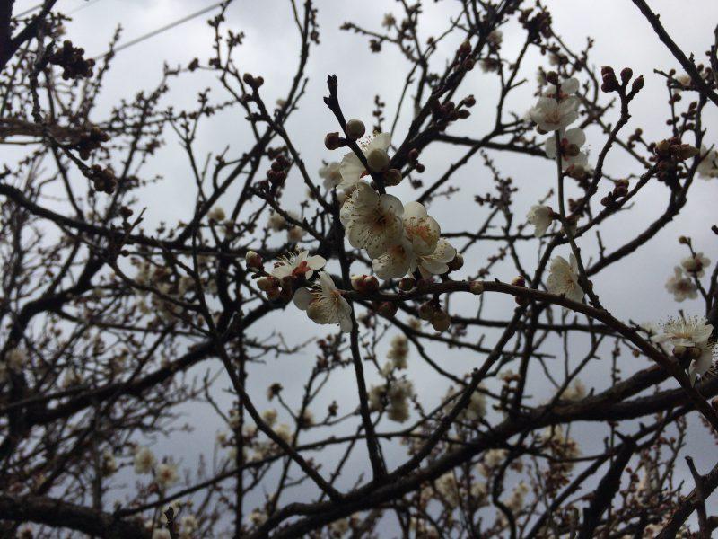 急にあちこちの梅が咲き始めた