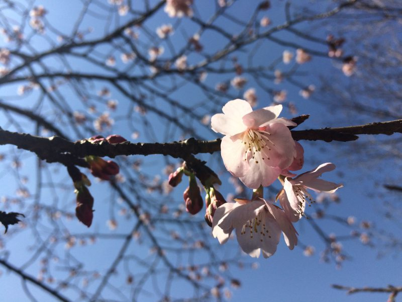 早咲き桜にも色々な種類が