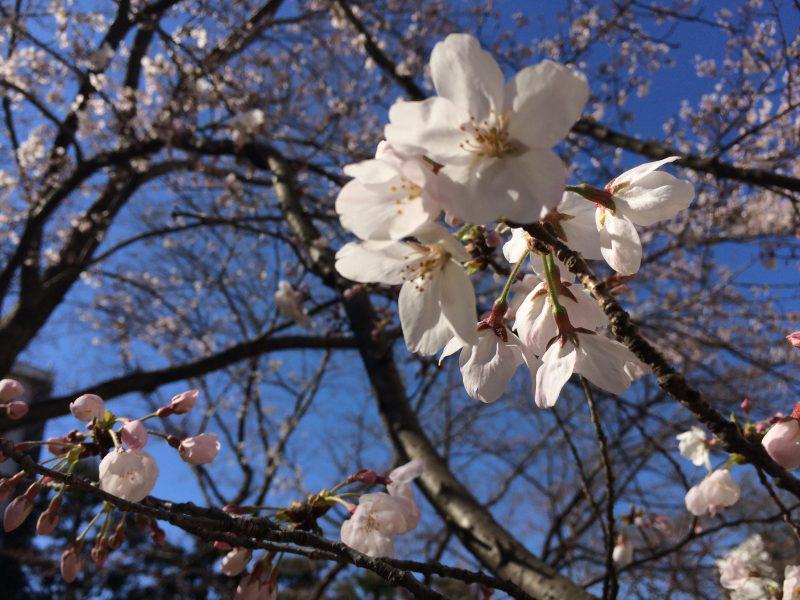 青い空に開花した桜の花が鮮やか