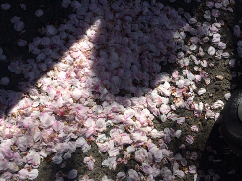 街中に桜の花びらが舞う
