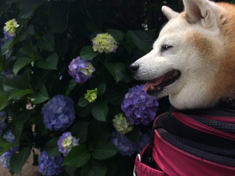 紫陽花を見てて初めて知る