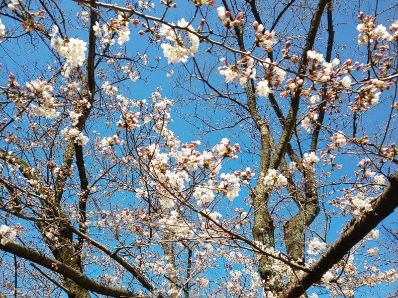 咲き始めの桜の下で記念写真