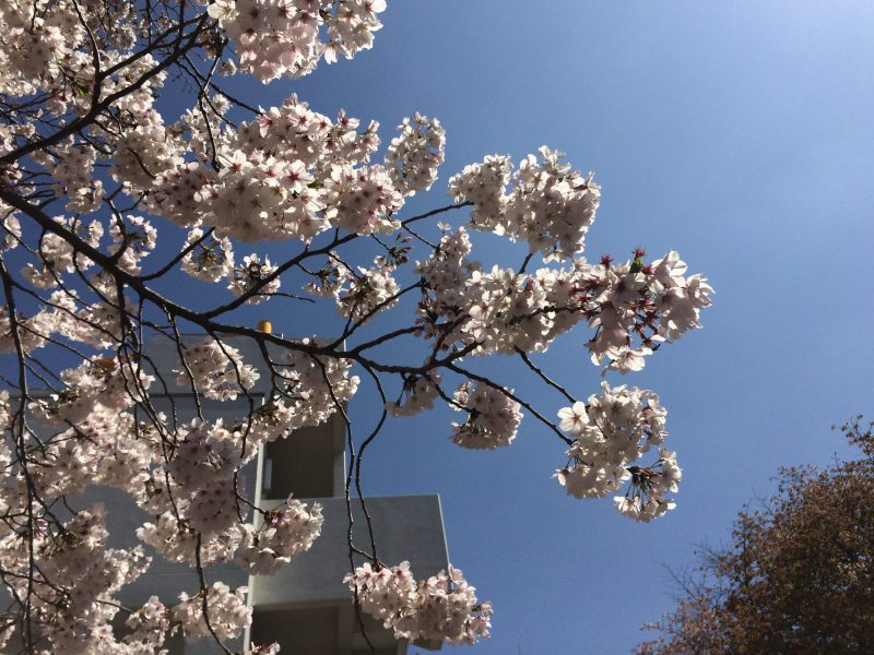 桜はコロナに負けず