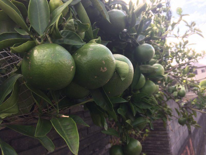 猛暑の年は果物の糖度があがる